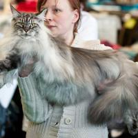 Le Maine Coon  : un chat géant !