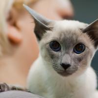 Les yeux bleus du Siamois