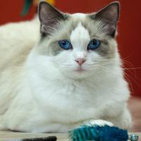 Les yeux bleus du Ragdoll