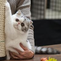 L'Exotic Shorthair, un chat à la fourrure pelucheuse