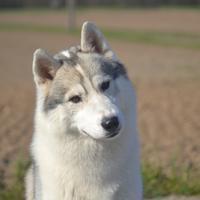 Husky de Sibérie - Baloo