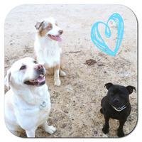 Staffordshire Bull Terrier - Jelly