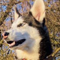 Husky de Sibérie - FALCO
