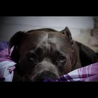 American Staffordshire Terrier - Hizzy