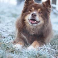 Chien Finnois de Laponie - Pippin