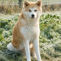 Akita Inu - Isulia
