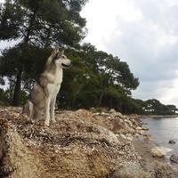Chien-loup de Saarloos - Filoup
