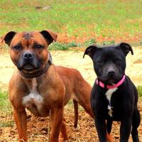 Staffordshire Bull Terrier - Lola