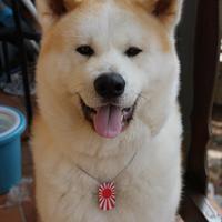 Akita Inu - Atsuko