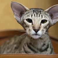 L'Oriental, un chat avec une tête de forme triangulaire