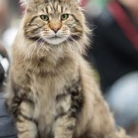 Le maine coon un chat  imposant