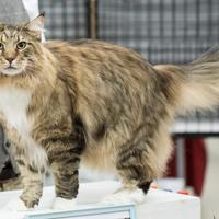 Le corps long et rectangulaire du  Maine Coon