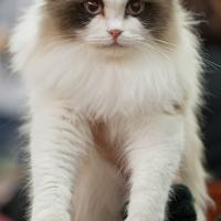 """Le Ragdoll, un chat """"poupée"""""""