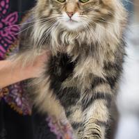 Les longs poils du chat Norvégien