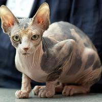 Le Sphynx, une des races de chats nus
