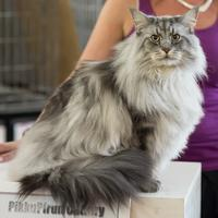Le long poil du Maine Coon