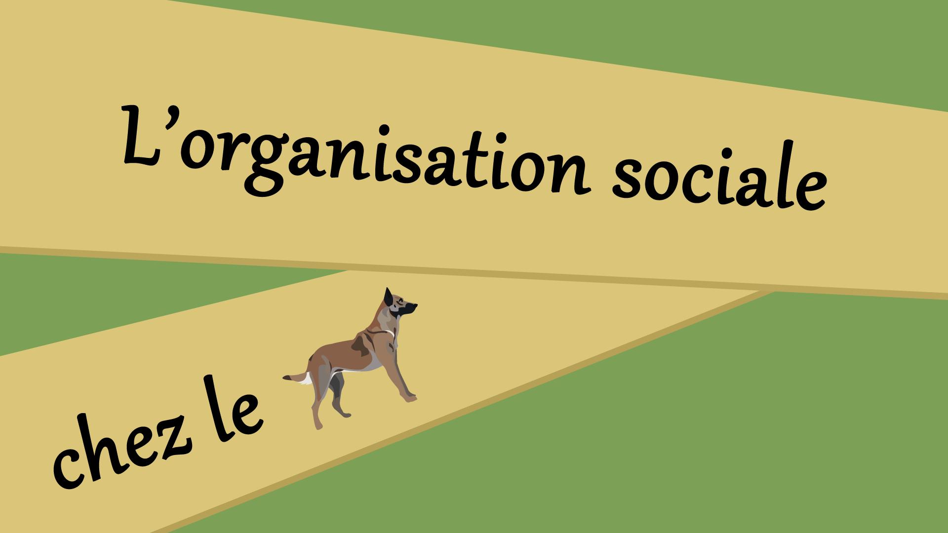 L'organisation sociale chez le chien