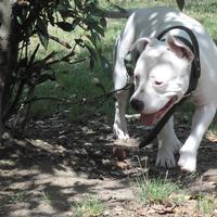 American Staffordshire Terrier - Katana