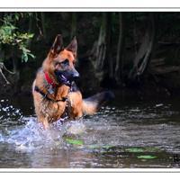 Berger Allemand - iovis à la rivière