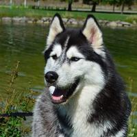 Husky de Sibérie - J'Pandora des Merveilles Boréales