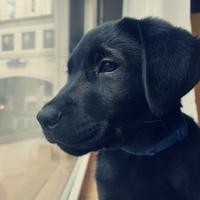 Labrador Retriever - Oslo