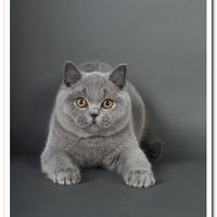 British Shorthair - Illegal Substance