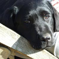 Labrador Retriever - Lucky