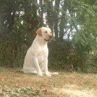 Labrador Retriever - Koda