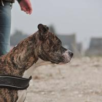 American Staffordshire Terrier - Tya