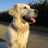Golden Retriever - Ma douce, fière et belle Fanny !