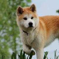 Akita Inu - H'Yuki