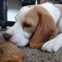 Beagle - Stark