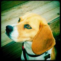 Beagle - Iona