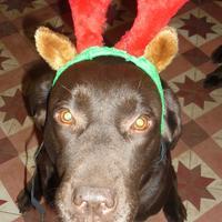 Labrador Retriever - Dancy