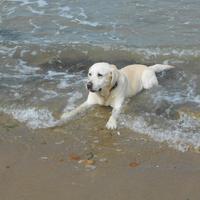 Labrador Retriever - Fabule