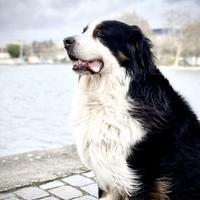 Bouvier Bernois - Odin