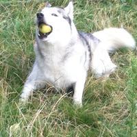 Husky de Sibérie - Pilou (Thunderbird de la Vallée de Morava)