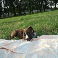 American Staffordshire Terrier - Gaïa