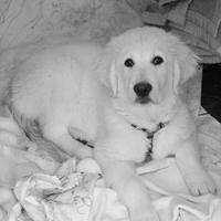 Golden Retriever - Le golden retriever est un chien formidable ! Fac…