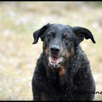 Beauceron - Chinook